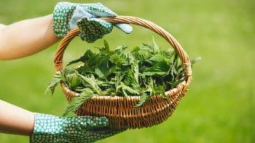 ortie orties panier jardin