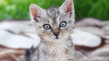 magnifique petit chat chaton