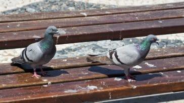 nettoyage nettoyer fientes de pigeons oiseaux