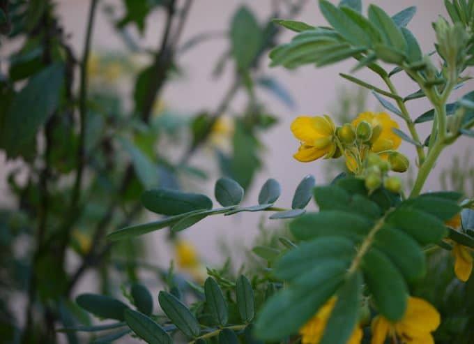 séné cassia infusions de plantes constipation