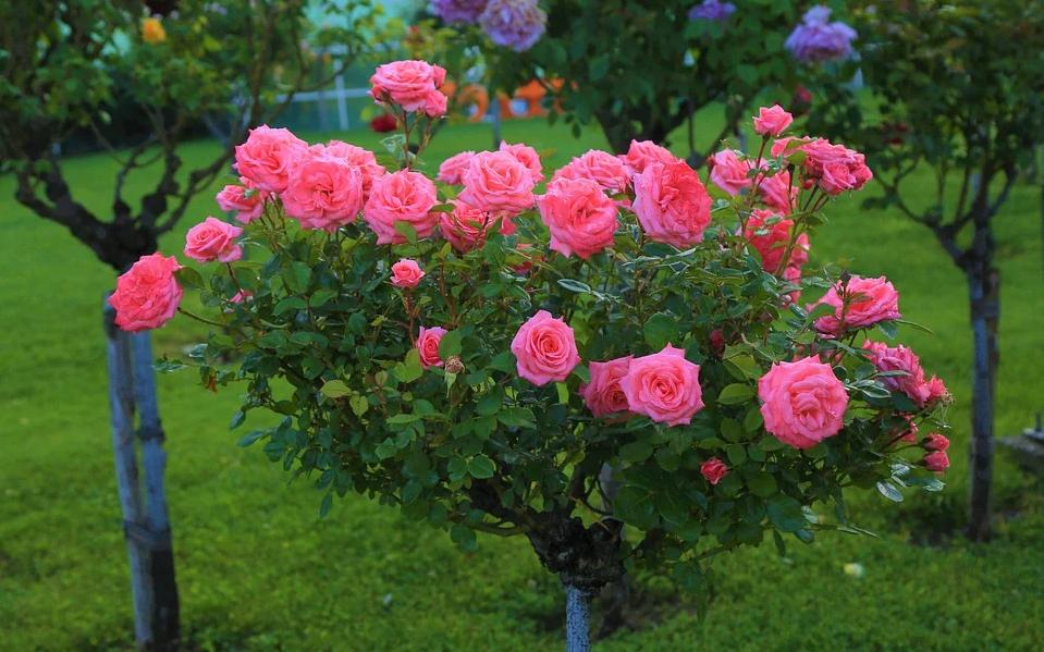 rosiers roses rosier