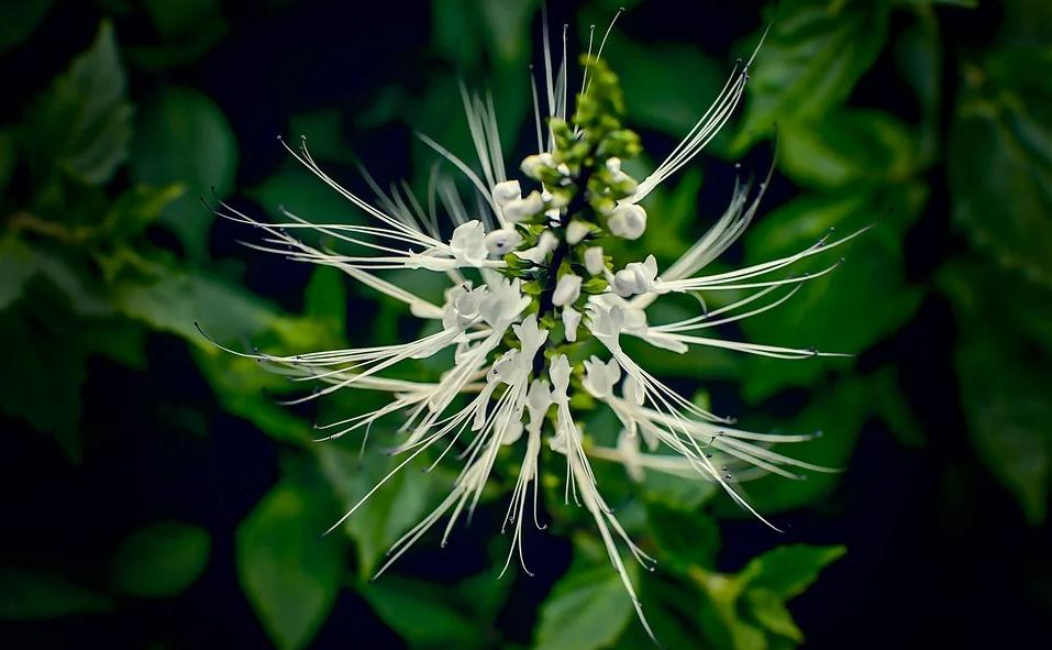fleur de thé de java orthosiphon parmi les plantes drainantes