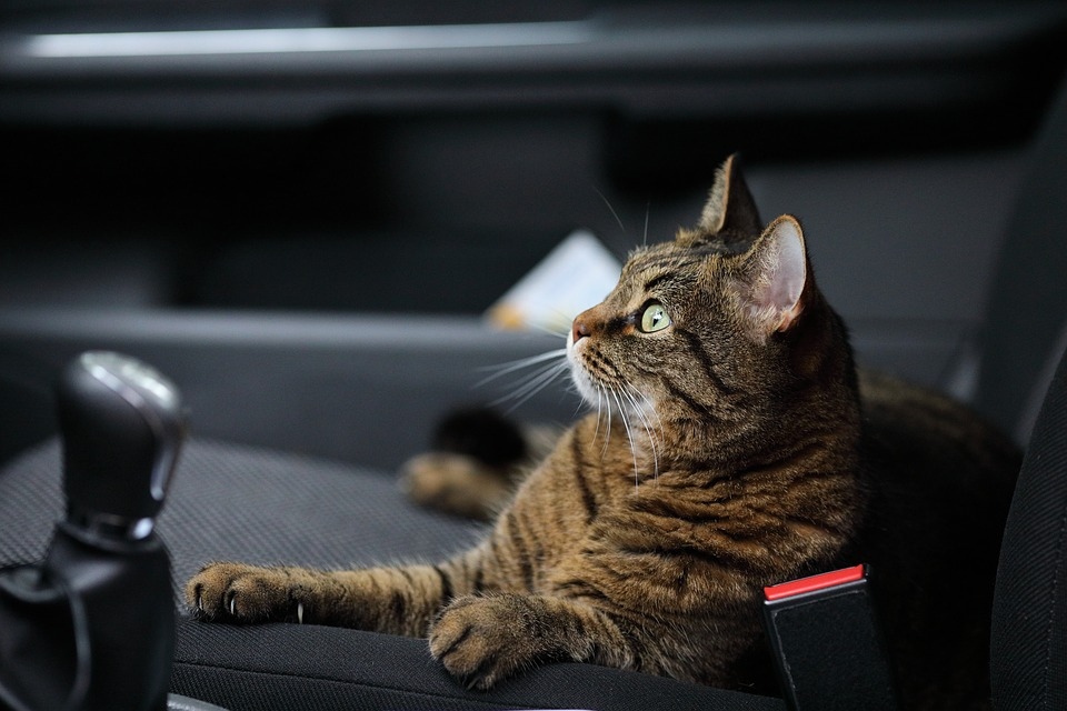 chat-voiture-mal-des-transports-animaux