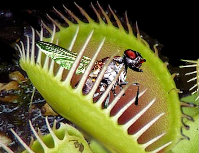dionée parmi les plantes contre les mouches