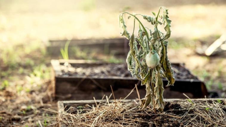 sécheresse jardin potager