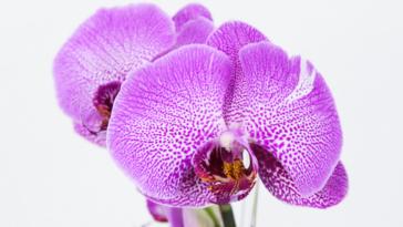 refleurir orchidée