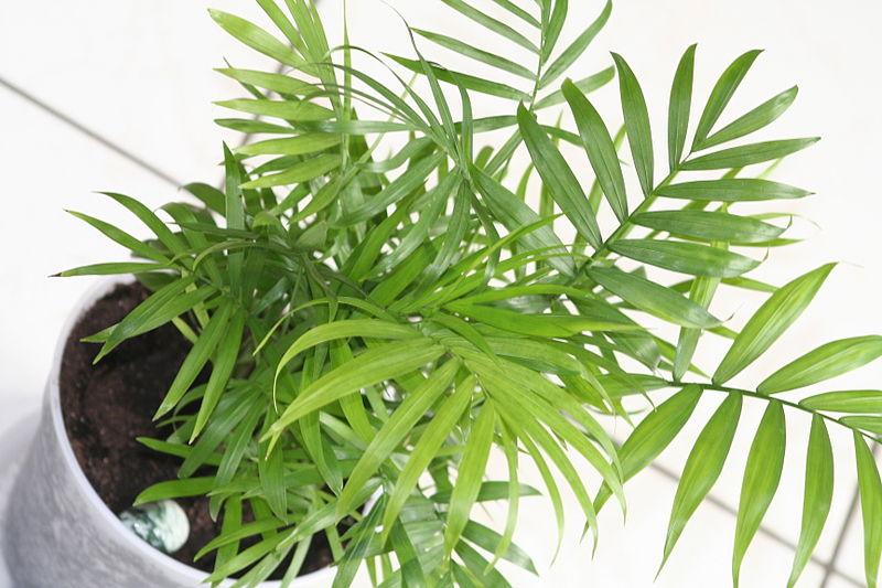 chamaedorea elegans palmier d'intérieur plantes dépolluantes
