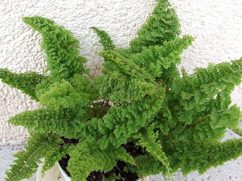 plantes dépolluantes telles que la fougère de Boston