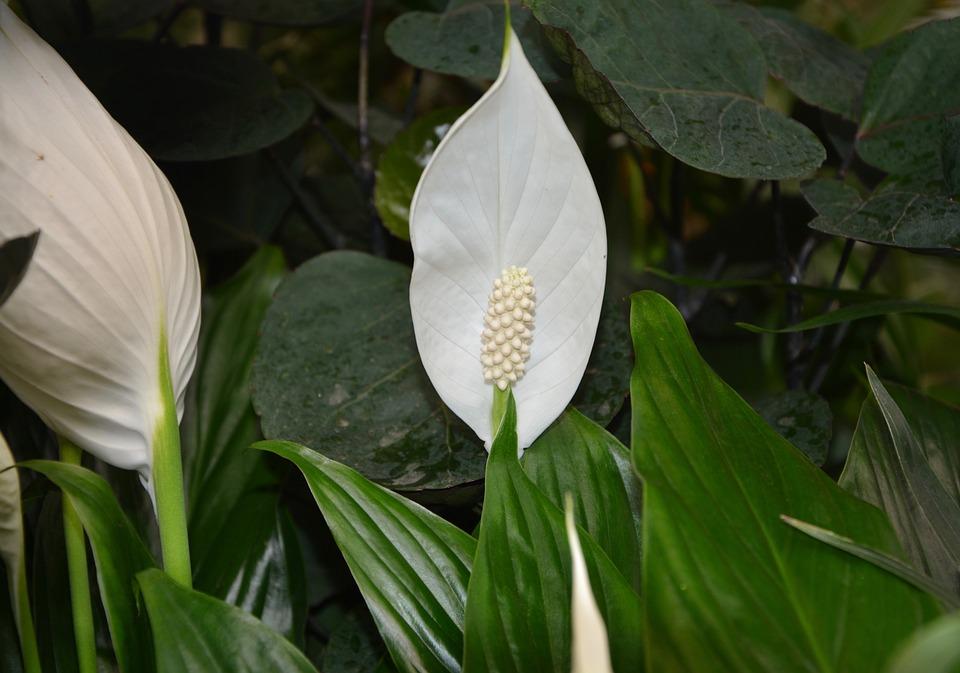 spathiphyllum parmi les plantes dépolluantes