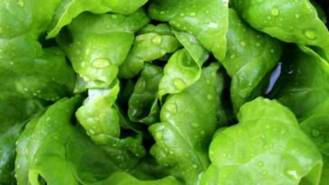 feuilles de salade