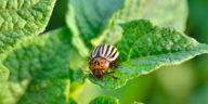 doryphore coléoptère du Colorado