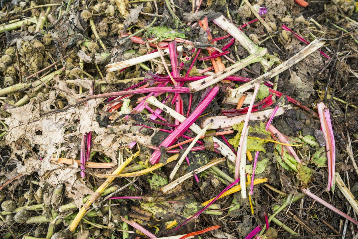 rhubarbe potager
