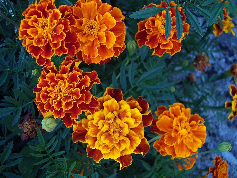 Oeillets d'Inde fleurs pucerons jardin potager