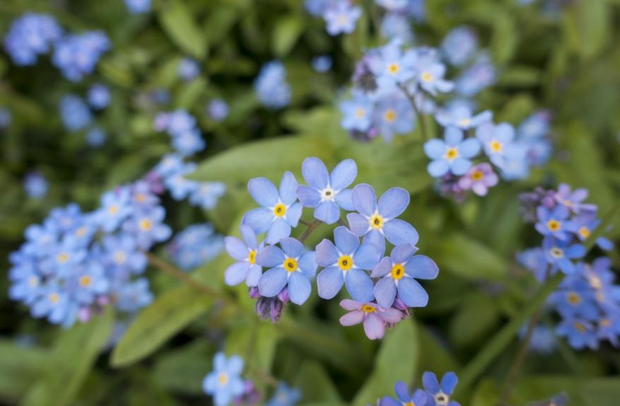 fleurs de myosotis au potager