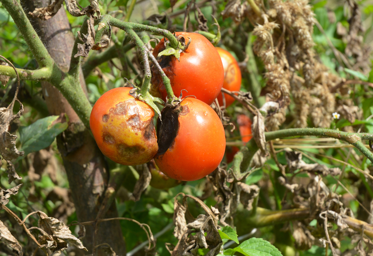 Phytophthora infestans mildiou plants de tomate