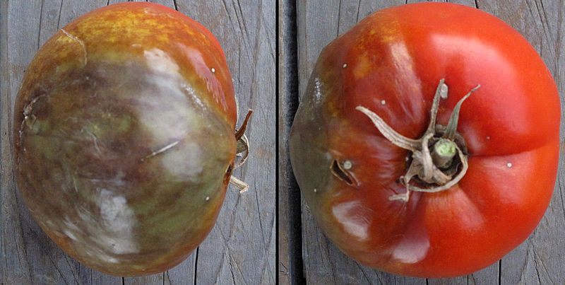 tomate mildiou phytophthora infestans