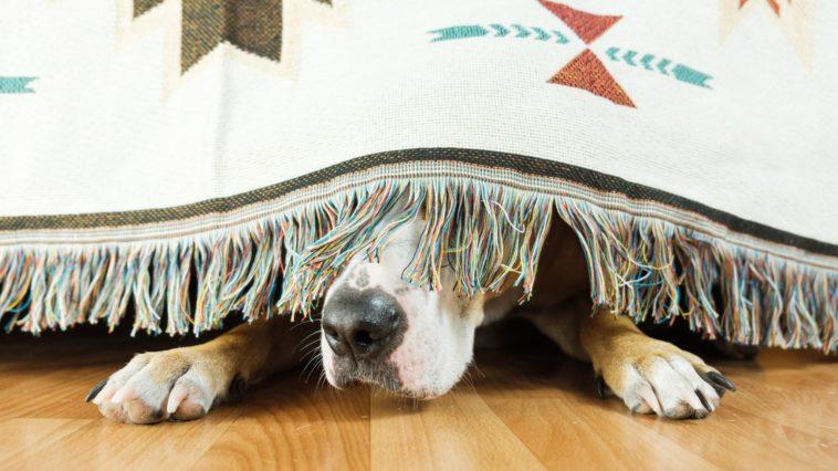 chien peur effrayé feux d'artifice pétards orages