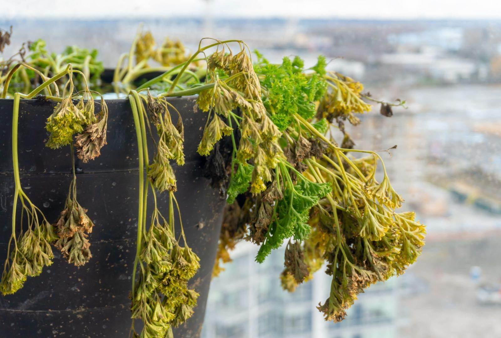 plante mourante plante morte fanée
